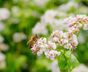 Buckwheat Blossom with a honeybee
