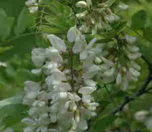 Black Locust Bloom
