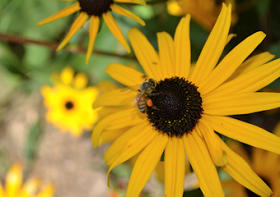 Back Eyed Susan Flower with Honeybee