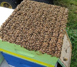 Top quality honey producing colony of honeybees