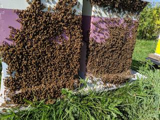 Bees bearding outside the hive