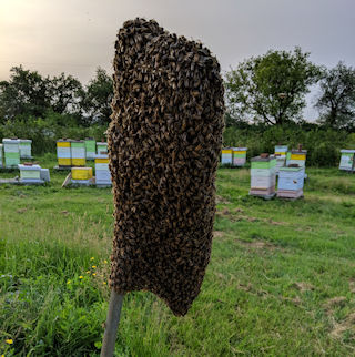 A swarm of bees on our baited pole