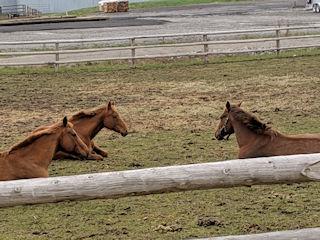horses laying down enjoying the summer